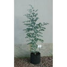 eucalyptus glaucescens tingiringi gum evergreen tree with all