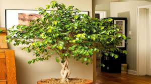 best best indoor trees ideas interior design ideas