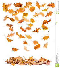 autumn oak leaves falling royalty free stock photo image 33048455
