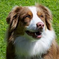 australian shepherd in spanish australian shepherd rescue u2015 animals for adoption u2015 rescueme org