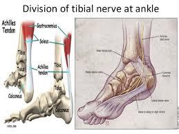Calcaneus Anatomy Anatomy Of Posterior Tibial Nerve By Im