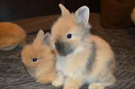 lion heads for sale welcome to shady tort lionhead bunnies and rabbits welcome