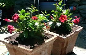 indoors garden mandevilla plant indoors coolman club