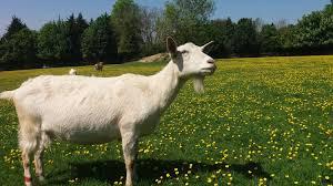 goats become man u0027s best friend