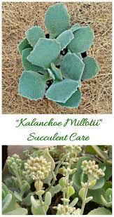 kalanchoe millotii ornamental succulent from madagascar