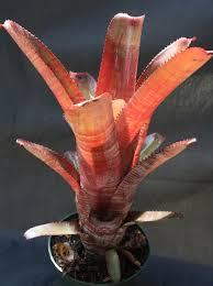 aechmea u0027cranberry frost u0027 bromeliad from paradiso tropic nursery