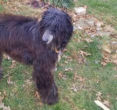 afghan hound rescue az adopted afghan hound club of america u2013 national rescue