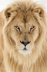 25 lion ideas tattoos lions roaring lion