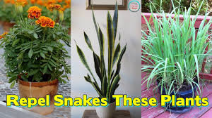 Flowers That Keep Mosquitoes Away Worried Of Snakes These Plants Will Repel Snakes From Your Garden