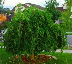 weeping mulberry garden plant evergreen trees chicago garden