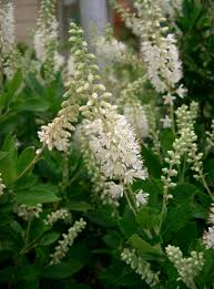 Scented Flowering Shrubs - plants for shade sweet pepper bush clethra alnifolia strongly