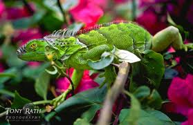 discover photos of green iguanas jungledragon