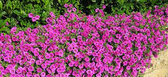 petunia flowers growing petunias flower power