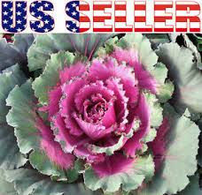 30 ornamental cabbage seeds colorful flower kale brassica