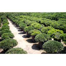 pittosporum tobira u0027wheelers dwarf u0027 hedge screen boething