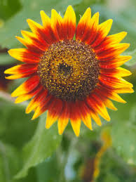 sunflower meaning and symbolism hgtv