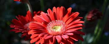 gerbera daisies gerbera transvaal barberton