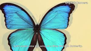zoom into a blue morpho butterfly narrated on vimeo