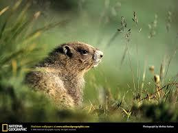 groundhog picture groundhog desktop wallpaper free wallpapers