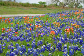 native plants of texas wildflower season may come earlier this year around texas experts