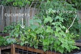 Growing Cucumbers Up A Trellis Some Things I Grow In My Garden Raised Urban Gardens