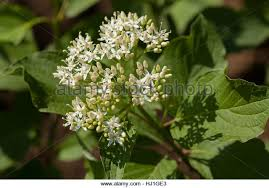 Tree With Little White Flowers - plant small white flowers big stock photos u0026 plant small white