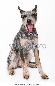 6 month australian shepherd blue merle australian shepherd pup stock photos u0026 blue merle
