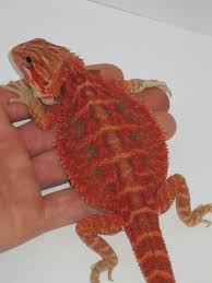 89 bearded dragon red images bearded dragon
