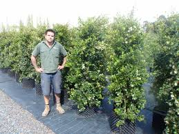 best australian native hedge plants seriously good syzygium resiliance kilby park tree farm