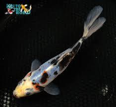black opal 7 25