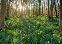 plants native to scotland did you know that there are such things as wild daffodils