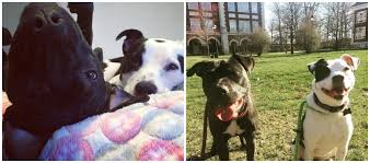 american pitbull terrier wanted dog rescue stories sky and harlow u2013 from foster siblings to