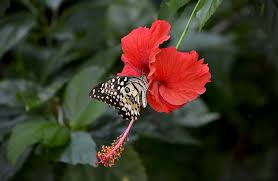 free photo hibiscus flower blooming free image on