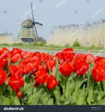 windmill tulip field near ooster egalementsloot stock photo