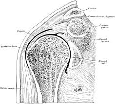 Human Shoulder Diagram Shoulder Diagram Diagram Site