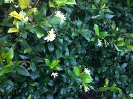 Fragrant Jasmine Plants For Sale The Most Fragrant Tea In History P U0026 T