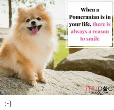 Pomeranian Meme - when a pomeranian is in your life there is always a reason to