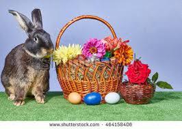 rabbit easter basket rabbit easter basket isolated on white stock illustration