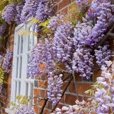 buy wisteria sinensis prolific large plant at mailshop co uk