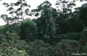 Dominant Plants Of The Tropical Rainforest - ib biology at ghs tropical rainforest