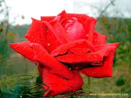 imagenes de amor con rosas animadas rosas animadas mas bonitas del mundo imágenes de amor con