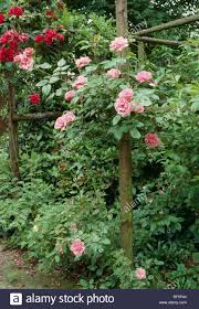 close up of pink climbing roses on a rustic pergola in country