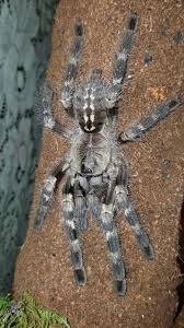 the world s best photos of poecilotheria and spider flickr hive mind