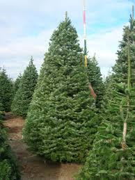 turkish fir christmas trees brooks tree farm
