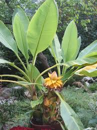 tiny banana anyone growing truly tiny banana