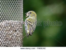 black sunflower seeds for garden bird feeder stock photo royalty