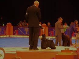 affenpinscher joey dog show 2012 12 09