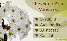 flowering varieties of pear trees you ll want for your garden