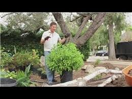 Small Shrubs For Front Yard - landscaping 101 how to prune small shrubs youtube