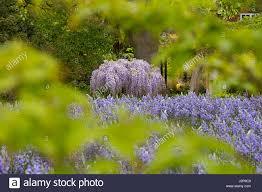 wisteria wisteria floribunda flowering climber stock photos